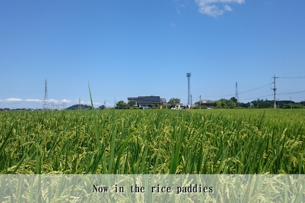Now in the rice paddies